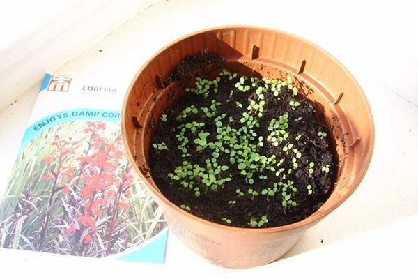 посев лобелии в грунт