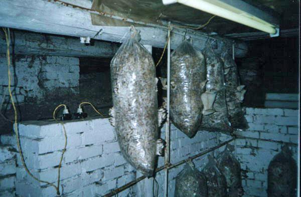 выращивание вешенок в подвале
