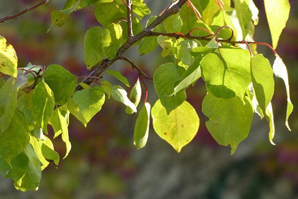 абрикосовые листья