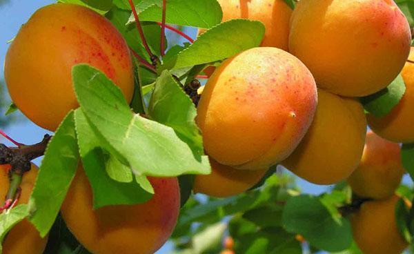 сочные сладкие плоды