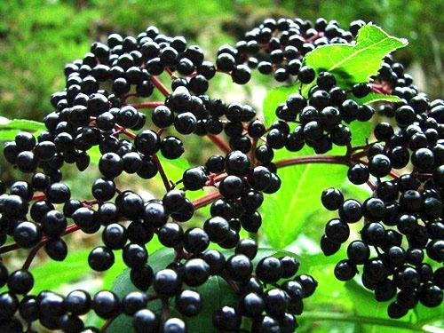 плоды бузины черной