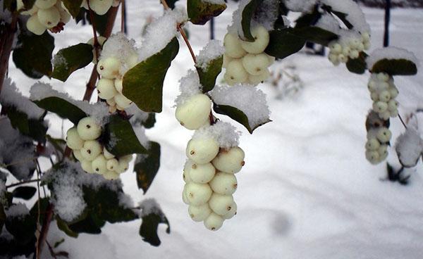 снежноягодник зимой