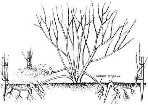 размножение отводками