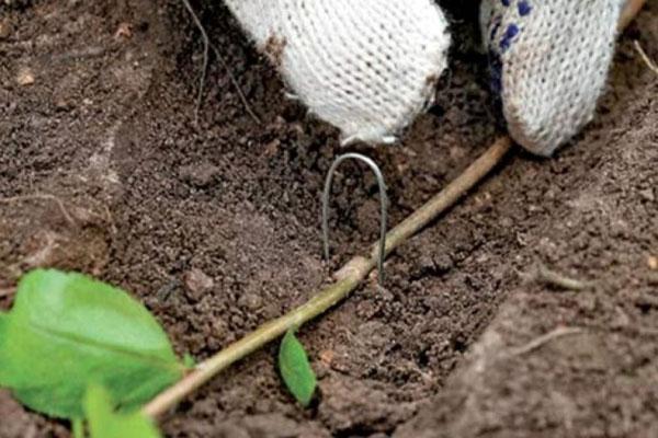 размножение калины отводком