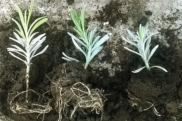 размножение лаванды