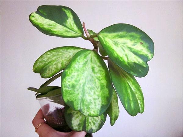 Hoya kerrii Spot margin