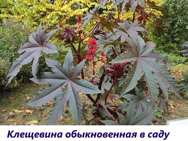 клещевина обыкновенная в саду