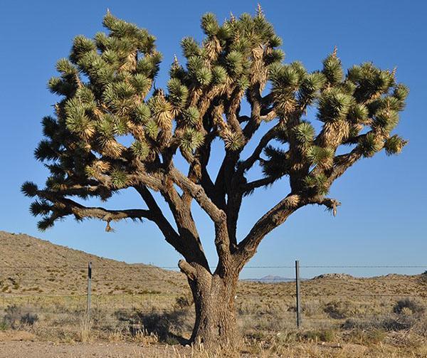 Юкка коротколистная - дерево Джошуа