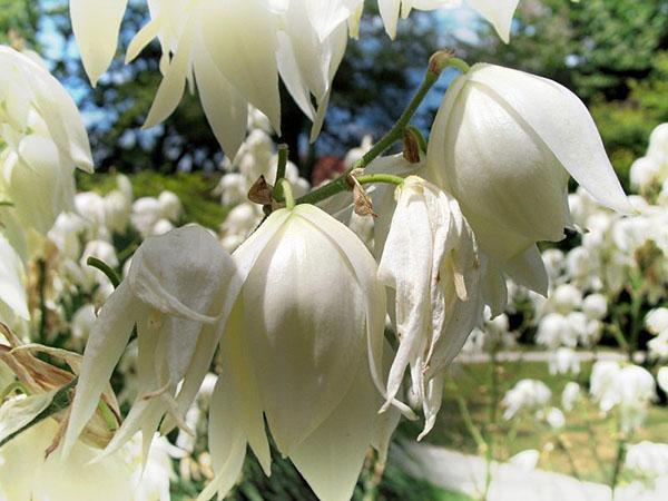 Цветки Yucca filamentosa
