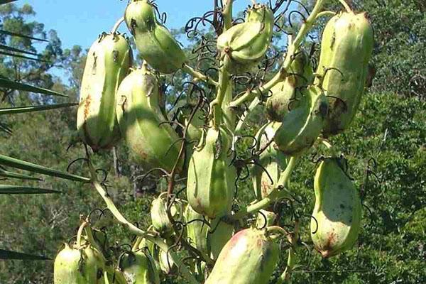 Плоды Yucca aloifolia