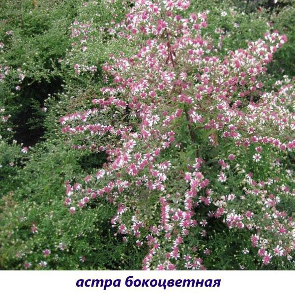 астра бокоцветковая