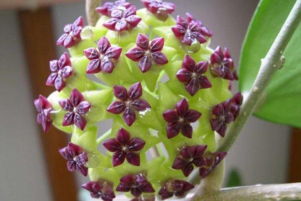 цветение вьющейся лианы