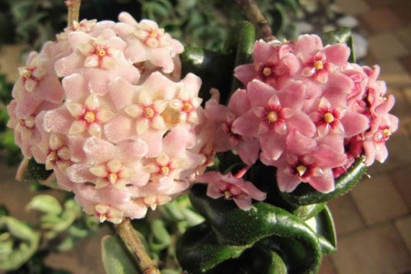 нежные цветы хойи компакта