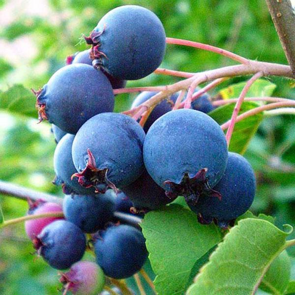 плоды сорта смоуки