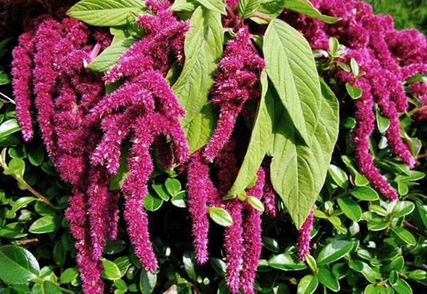 Амарант растение как выращивать