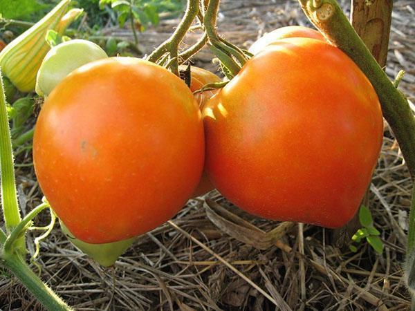 выращивание томата бычье сердце