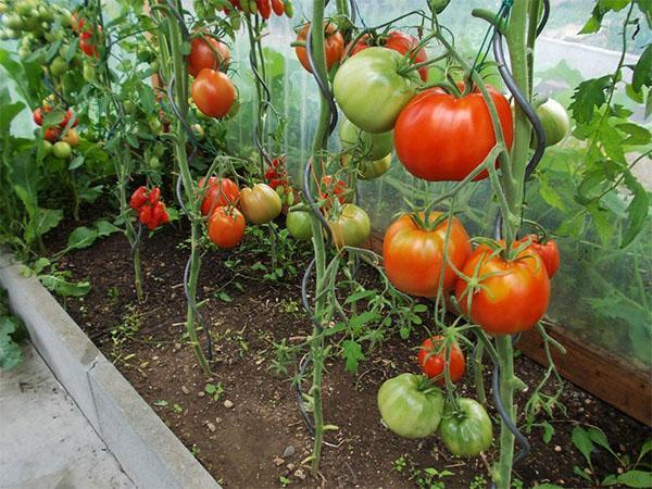 томат бычье сердце в теплице