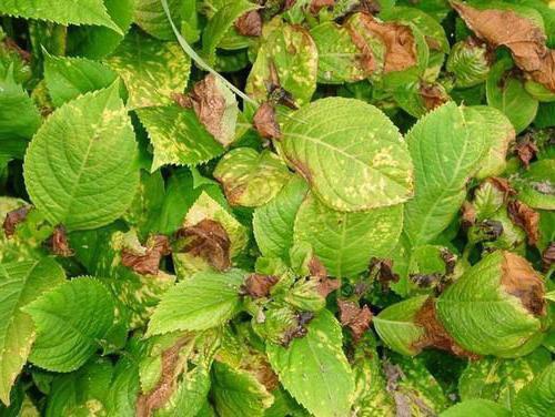 сохнут листья от качества воды