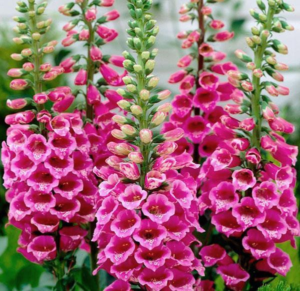 яркое цветение наперстянки