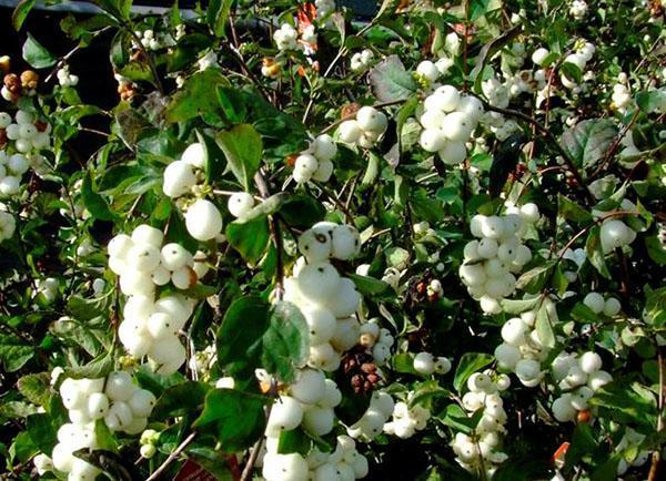 россыпь белых ягод