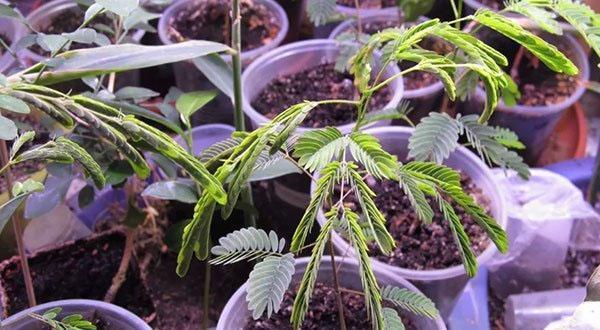 выращивание акации из семян