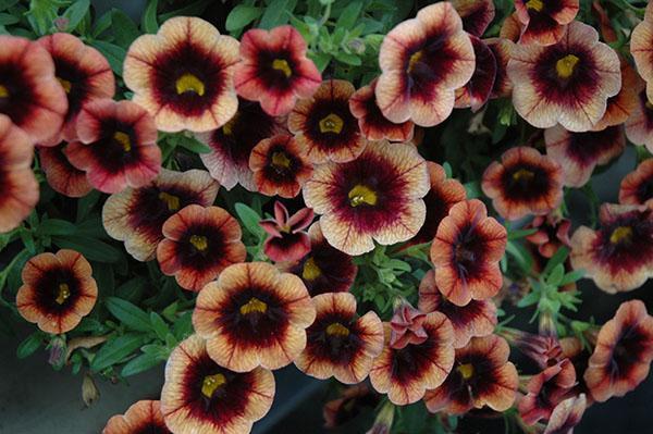 цветет калибрахоа