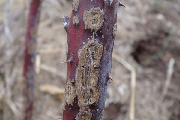 поражение стебля