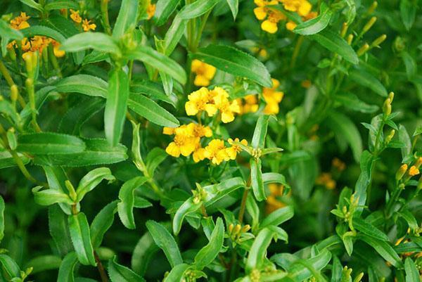 цветет эстрагон