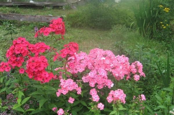 флоксы красные и розовые