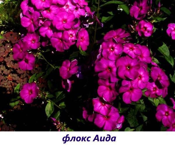 Флокс Аида