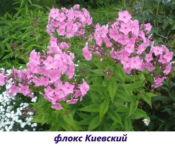 Флокс Киевский