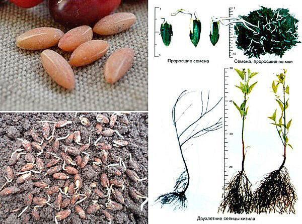 этапы размножения косточками
