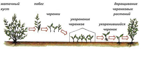 этапы размножения черенками