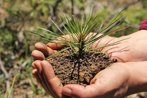 выращивание кипариса