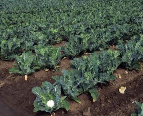 как вырастить цветную капусту