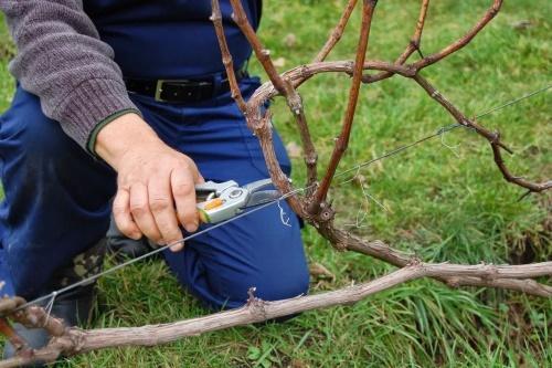 Обрезка винограда как и когда лучше обрезать