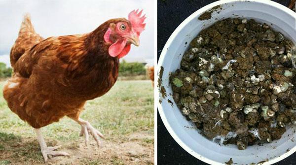 Как правильно вносить куриный помет как удобрение