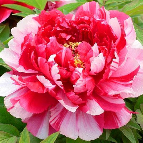 Эффектный цветок пиона Dao Jin