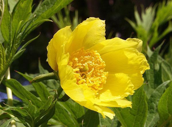 Пион желтый P. lutea