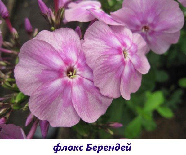 флокс Берендей