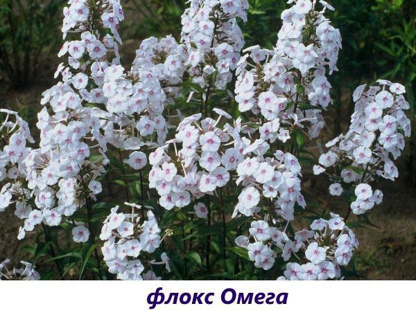 флокс Омега