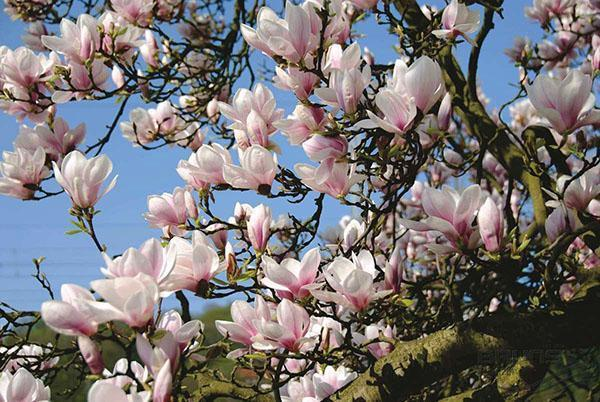 цветет магнолия суланжа