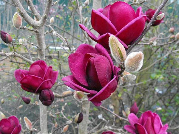 пурпурные цветы магнолии