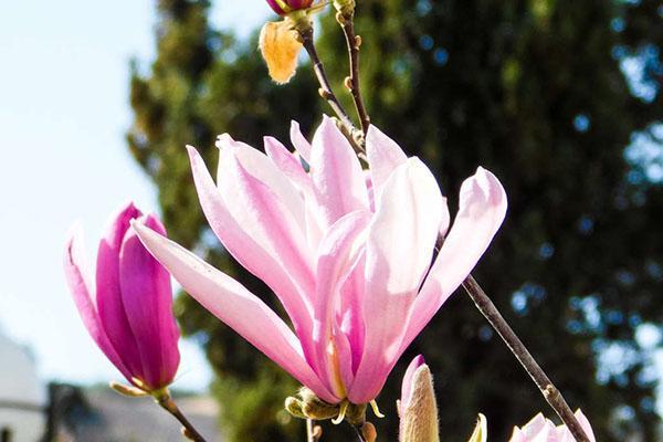 бело-розовое цветение магнолии
