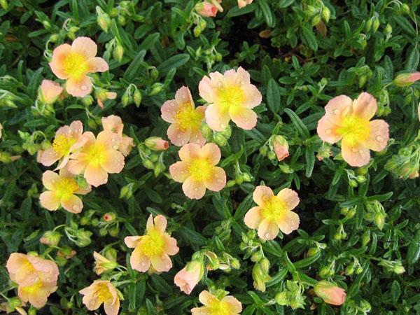 гибридные солнцецветы