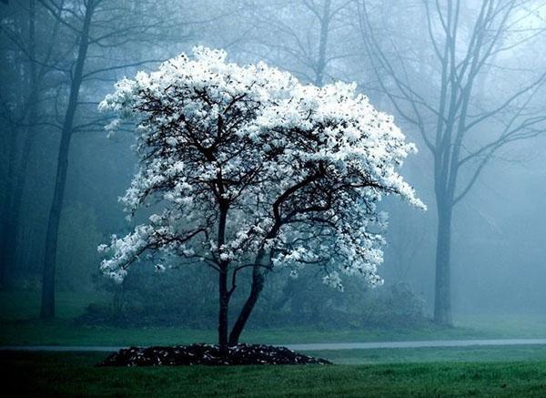 белоснежная магнолия в парке
