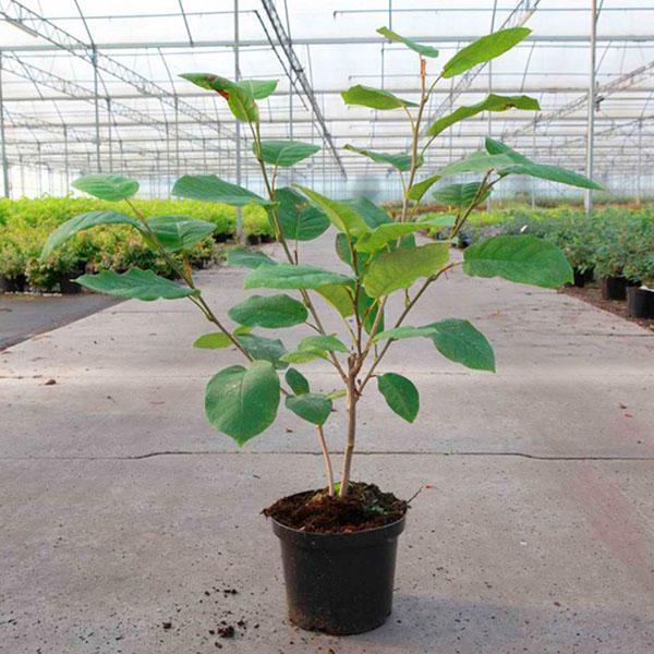 Саженец Magnolia sieboldii