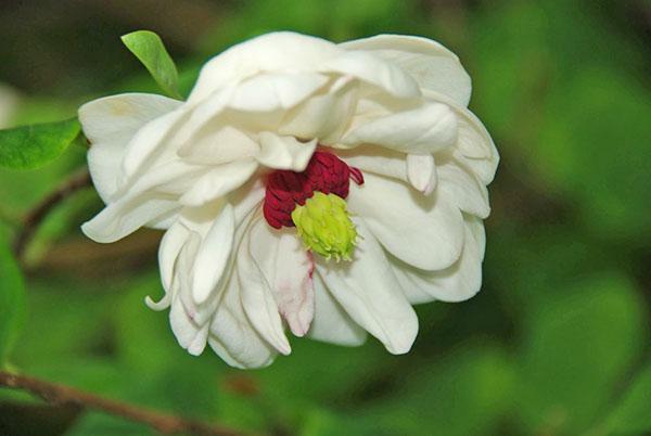 Magnolia sieboldii White Flounces