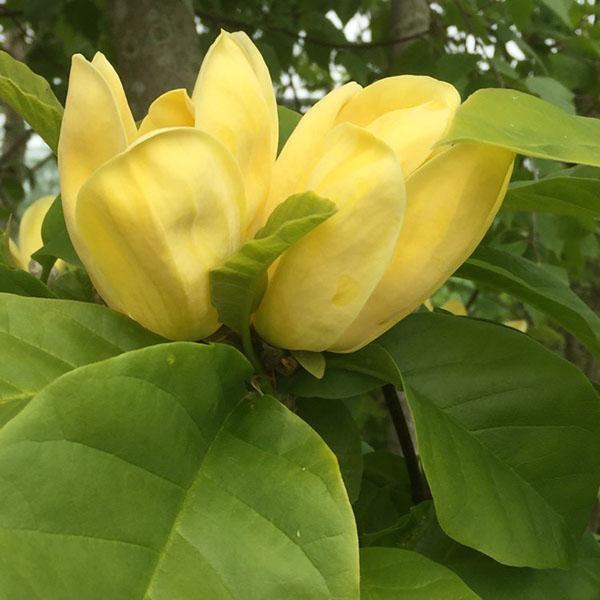 Цветение сорта магнолии Yellow Bird