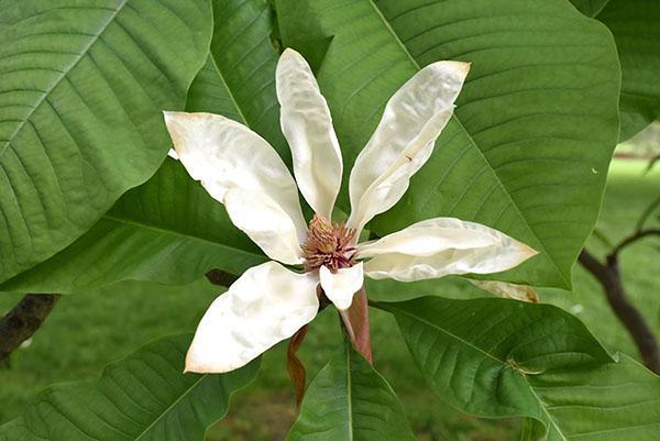 Цветок магнолии крупнолистной
